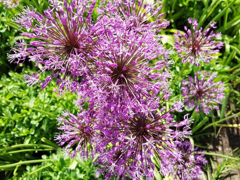 Jeigu jūsų įsigytame sklype yra daugiamečių gėlių – išsaugokite jas.
