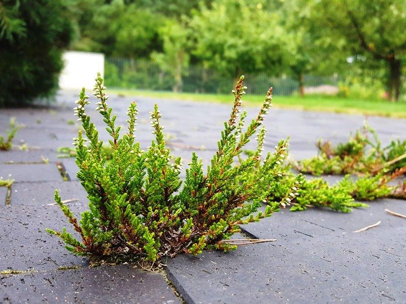 eigu nusprendėte augintisavo kieme pušis, tai puiki draugija joms – natūrali miško paklotė.