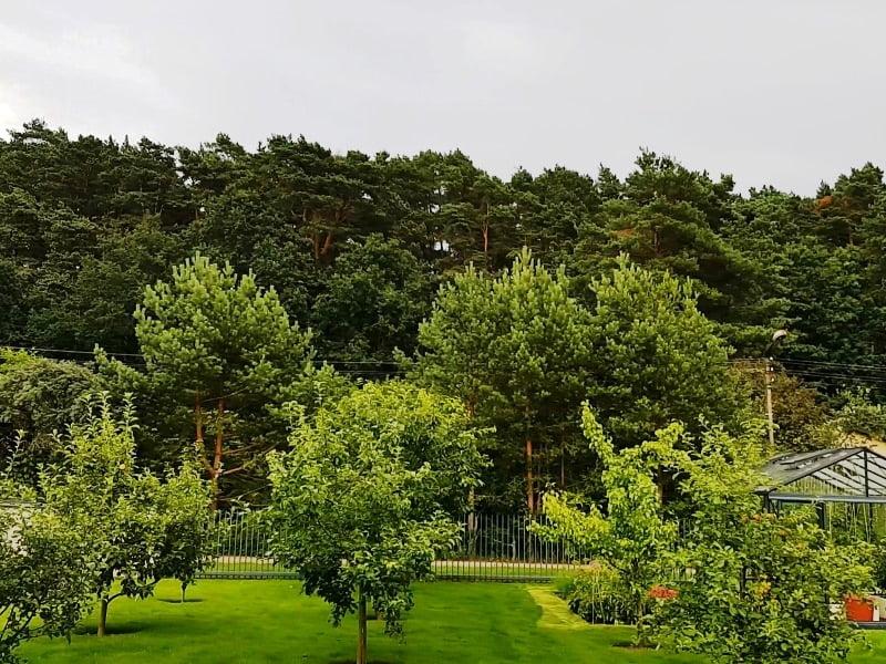 Pušų auginimas kieme – neabejotinai geras sprendimas, jeigu gyvenate pušynų apsuptyje.