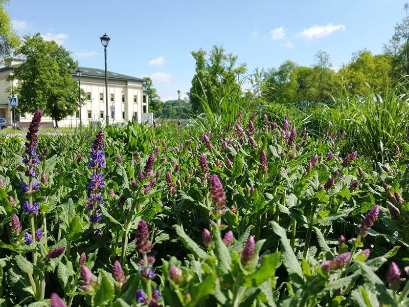 Vis daugiau daugiamečių augalų galima išvysti ir viešosiose vietose. Birštonas.