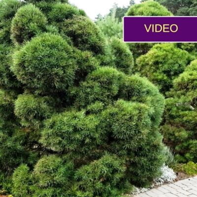 Pušų auginimas ir formavimas: įkvepiantis pavyzdys iš Kauno rajono