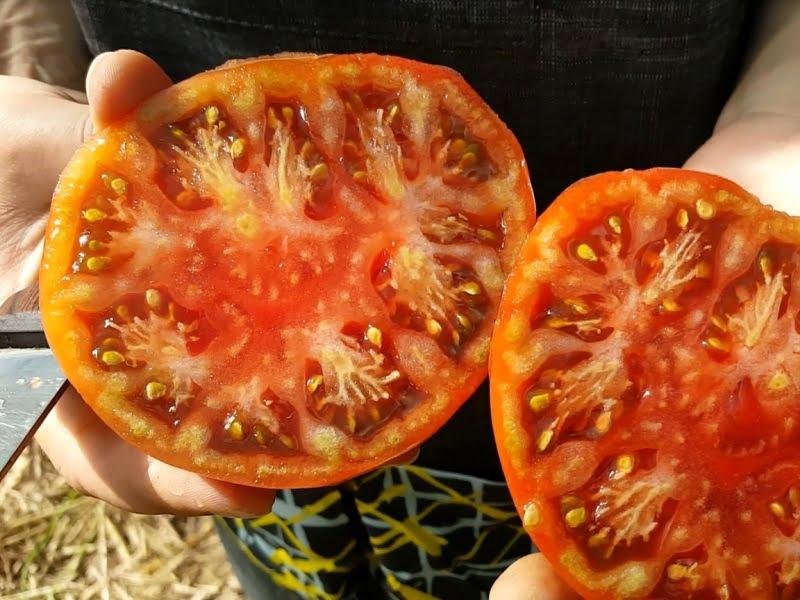 Geriausios pomidorų veislės geltonas karutis