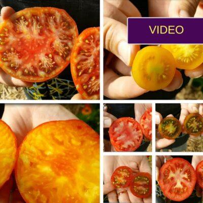 Geriausios pomidorų veislės: subjektyvi 18 veislių apžvalga