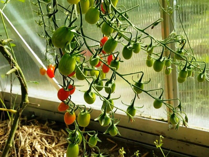 Labai svarbu apgalvoti ir tinkamą šiltnamiui vietą. Viena pagrindinių są;ygų – rytiniai saulės spinduliai, kurie apsaugos jūsų daržovių daigus nuo nušalimo.