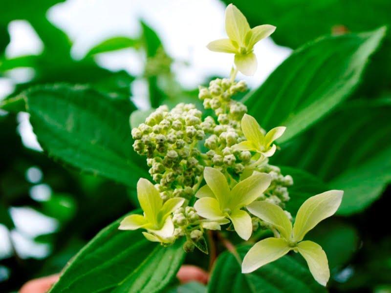 Šluotelinė hortenzija 'Great star'.