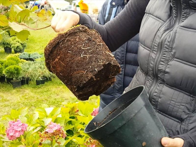 Pirkdami augalą vazone, patikrinkite jo šaknis, kad įsitikintumėte, ar jis tikrai vazone užaugintas. Tokių sodinukų kainos paprastai būna didesnės.