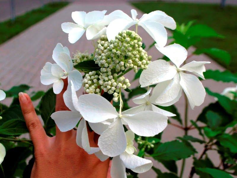 Šluotelinė hortenzija 'Levana'. Jos krūmas gali išaugti iki 3 m. aukščio.