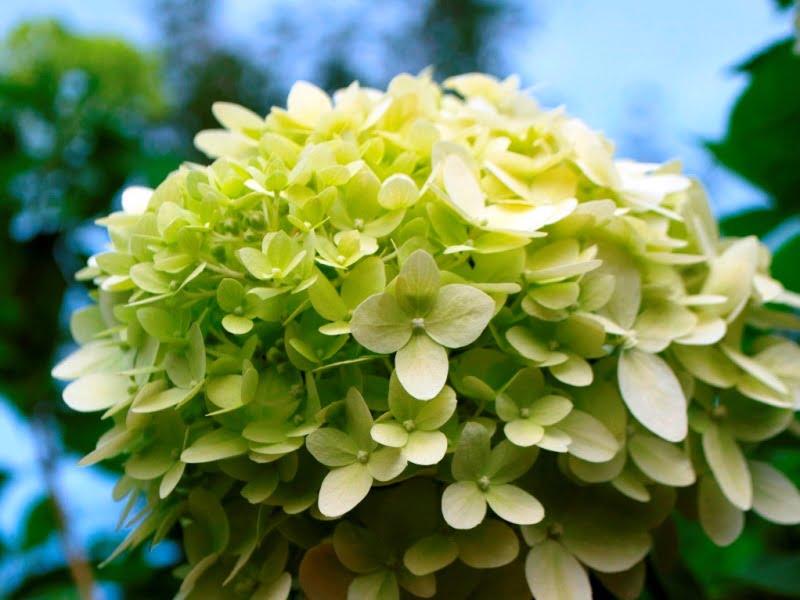 Šluotelinės hortenzijos – kokią jų veislę bepasirinktumėte, jos džiugins jus savo gausiais žiedynais. Nuotraukoje 'Limelight' veislės hortenzija. Nuotr. aut. Lina Puodžiūtė