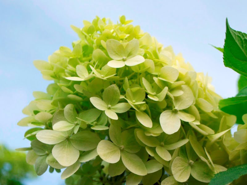 Ieškote kiek mažesnės šluotelinės hortenzijos? Tuomet rinkitės 'Limelight' veislę., kuri auga iki 1,5-2 m aukščio.