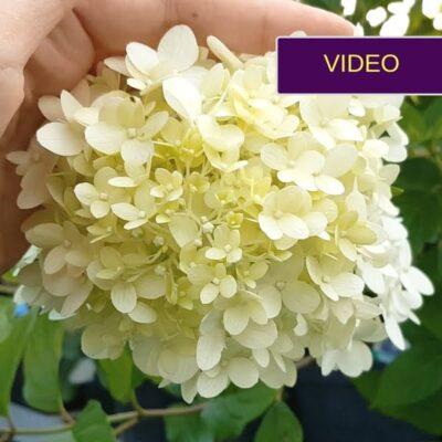 Šluotelinės hortenzijos – žydintys krūmai be rūpesčių