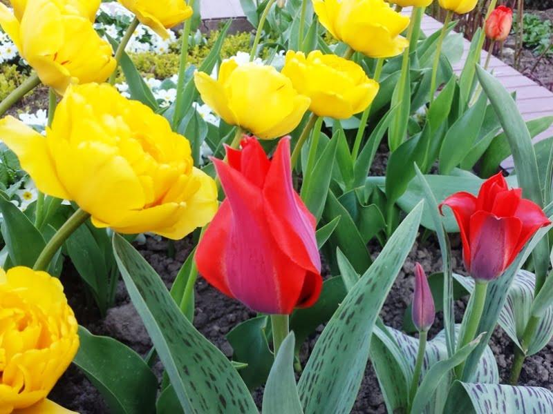 Svogūnines gėles galite sodinti ir lapuočių medžių šešėlyje. Tulpės, narcizai, krokai bei scylės tikrai puikiai gali augti šešėlio metamoje vietoje.
