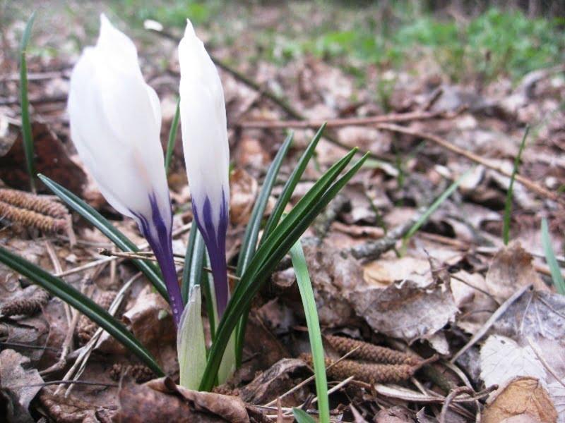 Pasodintus gėlių svogūnėlius reikia palaistyti. Taip pat galima paberti sudžiuvusių lapų ar durpių. Štai ir visa priežiūra rudenį.