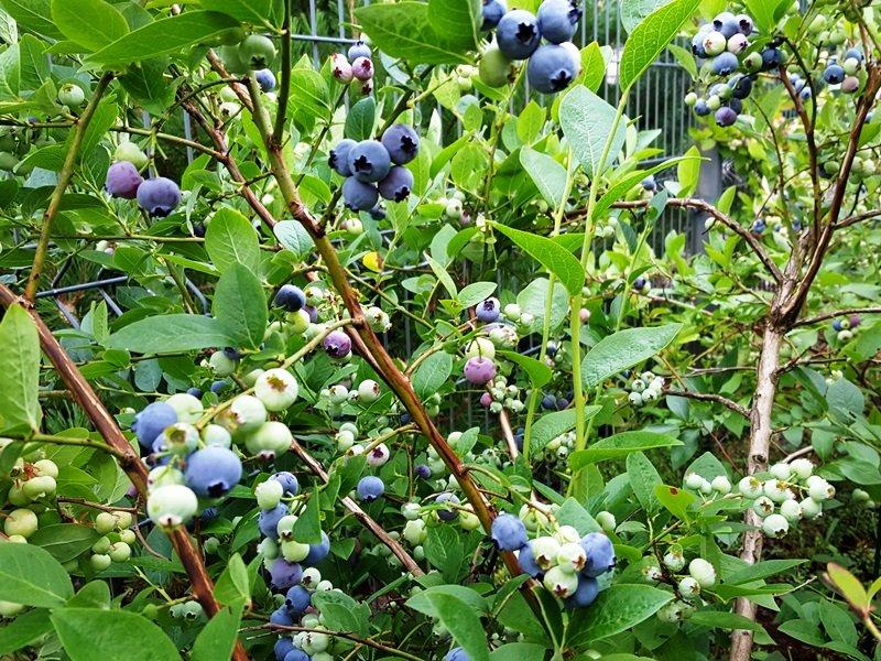 Ingės Auželienės sukurtas natūralistinis sklypo dizainas. Čia auga skirtingi augalai, bet jų auginimo sąlygos vienodos. Pavyzdžiui, rūgščiam dirvožemiui pasirinktos šilauogės, spanguolės, bruknės, viržiai.