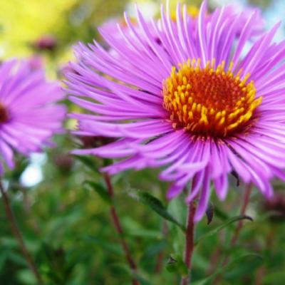 3 daugiametės kapų gėlės, kurios žydi vėlai rudenį