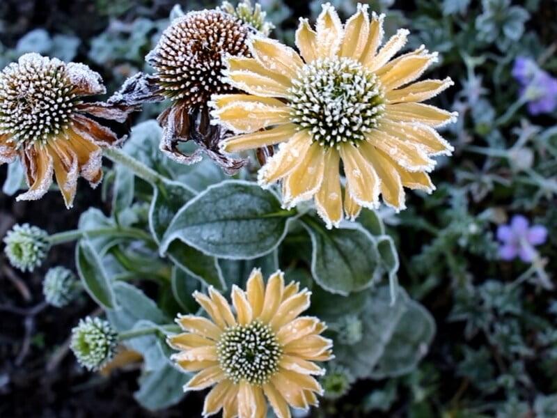 Žydintys augalai rudenį. Nuotr. L. Liubertaitė
