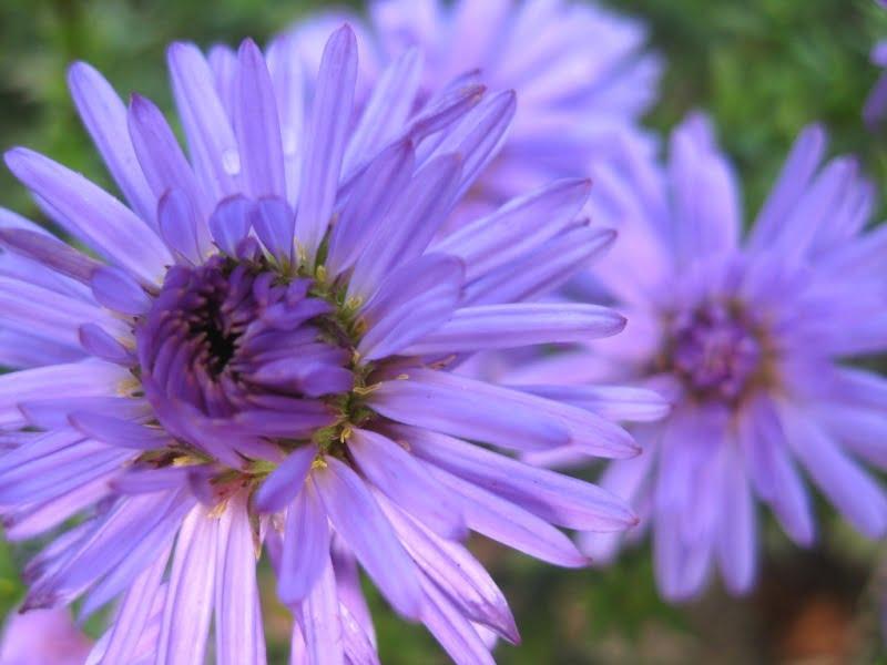 Įvairiausių spalvų astrai – puikios daugiametės kapų gėlėss. Galite rinktis tiek subtilesnių, prigesintų spalvų, tiek ryškesnius.