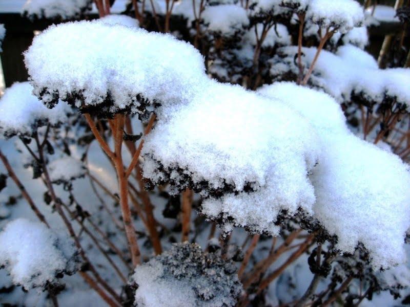Šilokai žiemą – po storu sniego sluoksniu.