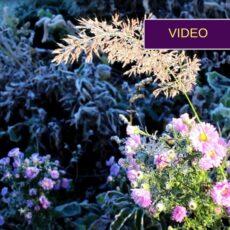 Žydintys augalai rudenį: džiugina net po šalnų