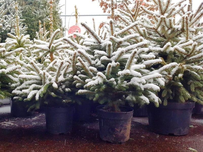 Kalėdinių eglučių veislės pasirinkimas priklauso nuo jūsų poreikių - tai gali būti eglutė melsvais spygliais, auganti lėčiau arba greičiau ir pan., tad prieš pirkdami pasidomėkite šių ypatybių.