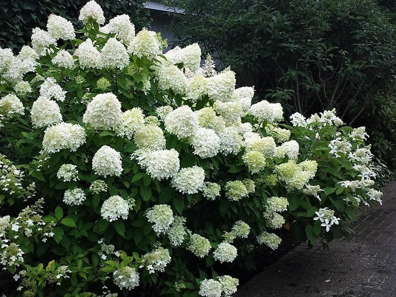 Šluotelinių hortenzijų (lot. Hydrangea paniculata) įvairovė. Nuotr.aut. L.Liubertaitė