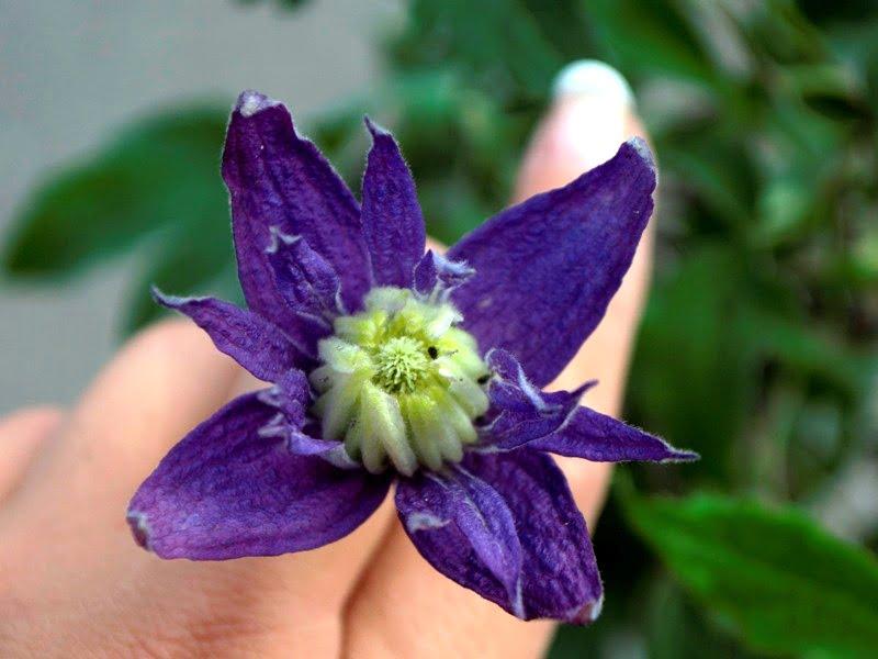 Raganė 'Purple spider' - nuostabūs dideli violetiniai žiedai. Nuotr. aut. L.Puodžiūtė