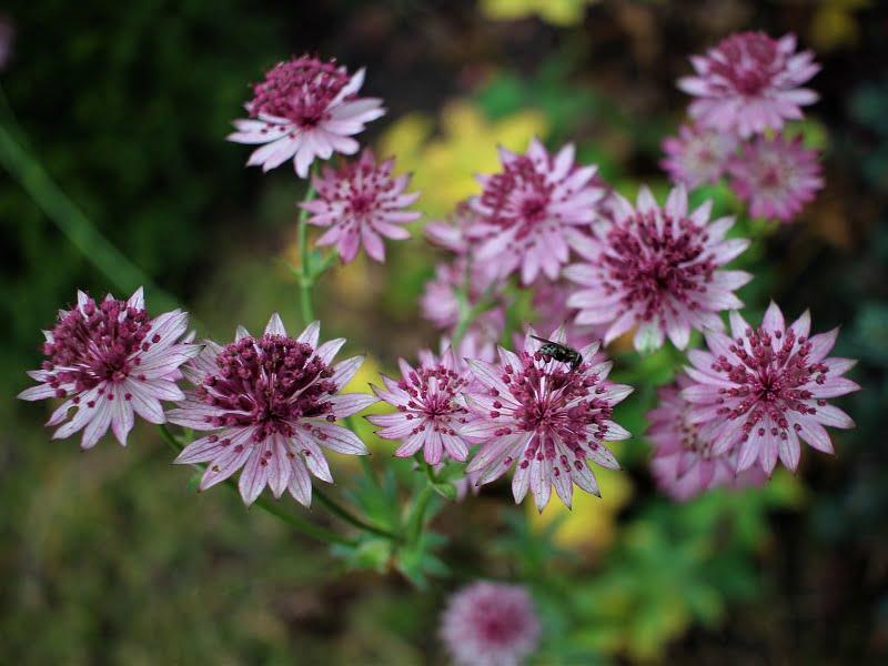 Sodo idėjos: astrancijos - itin ilgai ir gausiai žydintys žoliniai augalai