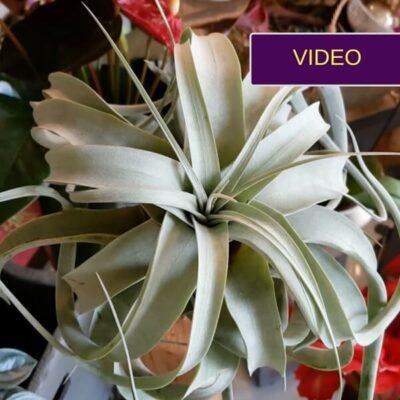 Oro augalai: ar reikia prižiūrėti, ar vien grynu oru sotūs?