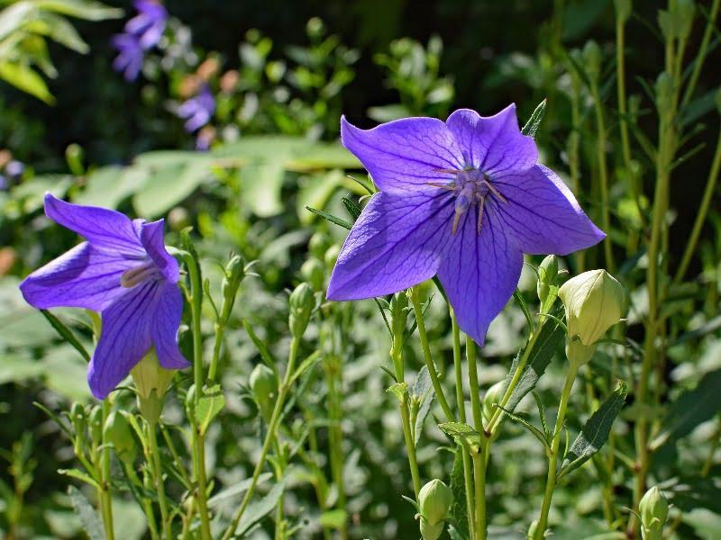 Katilėliai - pavasario violetiniai žiedai, tiesiog gražumėlis.