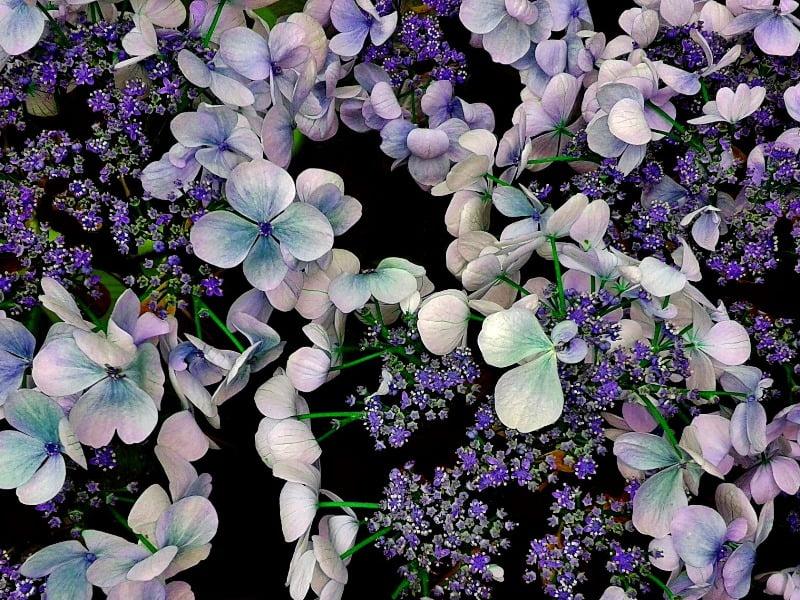 Didžialapė hortenzija - patys madingiausi violetiniai žiedai.