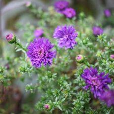 Violetiniai žiedai – madingiausias kiemo akcentas 2018-aisiais