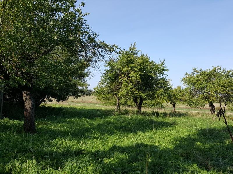 O ką daryti apleistoje sodyboje? Senų vaismedžių genėjimas gali atgaivinti medį ir dešimtmečiais prailginti derlių. Nuotr. L.Liubertaitė