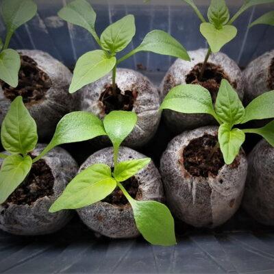 Kaip auginti daigus – mažos gudrybės, kad jie būtų tvirti