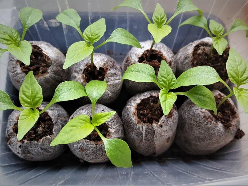 Kaip auginti daigus. Kai kurių rūšių daigai itin sunkiai pakelia persodinimą, tad juos geriausia iš karto sėti į durpių tabletes. Nuotr.aut.L.Liubertaitė
