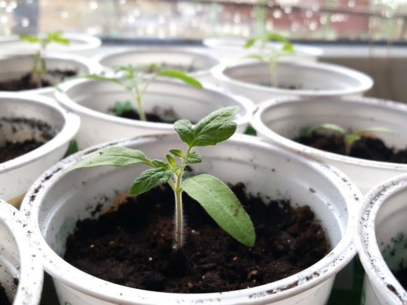 Pomidorų daigus sodinkite giliai ir palikite vietos - vėliau ten užbersite žemių papildomai, kad išleistų daugiau šaknelių. Nuotr. L.Liubertaitė