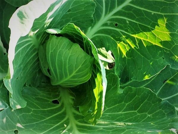Kopūstai - viena iš tinkamiausių daržovių rauginimui. Nuotr.aut. L.Liubertaitė