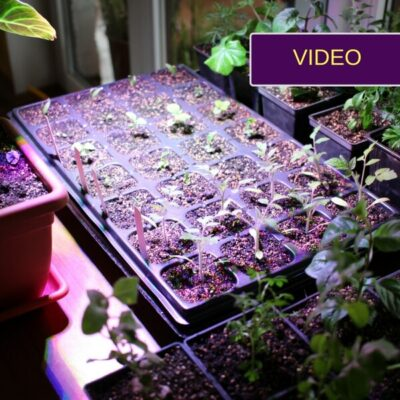 LED lempa augalams: lyginame eksperimento rezultatus