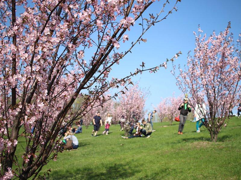 Sakurų auginimas įmanomas ir Lietuvoje: jeigu viešame parke jos auga, kodėl negalėtų jūsų kieme? Nuotr. L.Liubertaitė