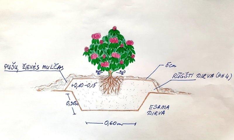 Rododendrų sodinimo schema. Paruošė L.Puodžiūtė.