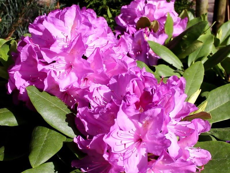 Nuostabūs 'Catawbiense boursault' veislės rododendrų žiedai. Nuotr.aut. L.Liubertaitė