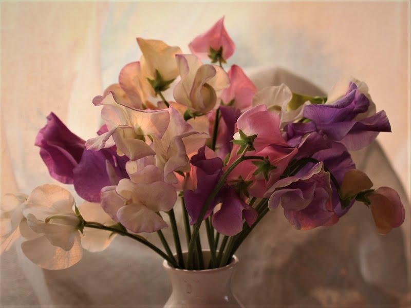 Mažai augalų savo aromatu prilygsta pelėžirniams. Nuotr.aut. A.Kurauskienė