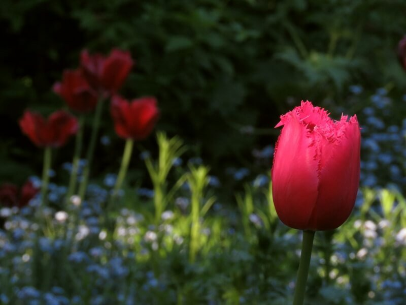 Tulpės 'Burgundy Lace'. Nuotr. aut. D. Rapšienė.