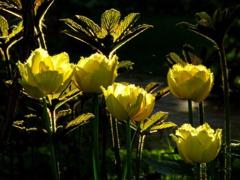 Tulpės 'Exotic Sun'. Nuotr. aut. D. Rapšienė