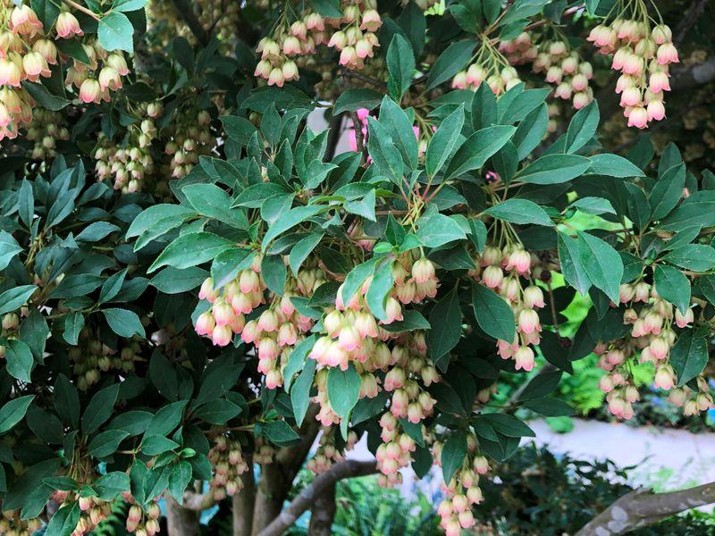 'Enkianthus campanulatus' - Katilėlinis sietminas. Nuotr.aut. M. Sliesoraitytė (Čelsio gėlių paroda 2018, Londonas)