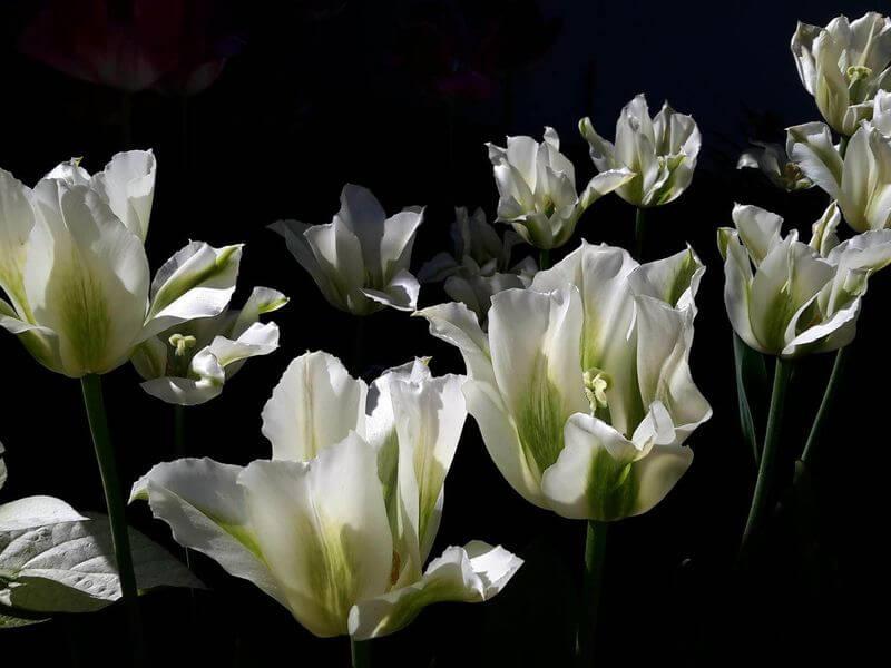Tulpės 'Spring Green'. Nuotr. aut. D. Rapšienė