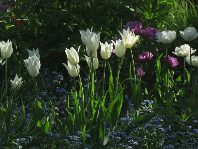 Dalios mėgstamos baltos tulpės, kurių pavadinimo ji nežino. Nuotr. aut. D. Rapšienė.