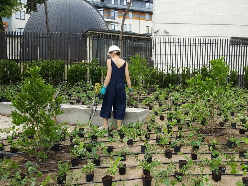 Išrikiuoti epimedžių ir žiemių sodinukai, prieš pat sodinimą Mo muziejaus sode. Nuotr. aut. L. Liubertaitė.