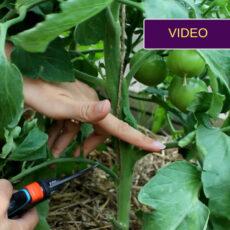 Pomidorų genėjimas: video instrukcija pradedantiesiems
