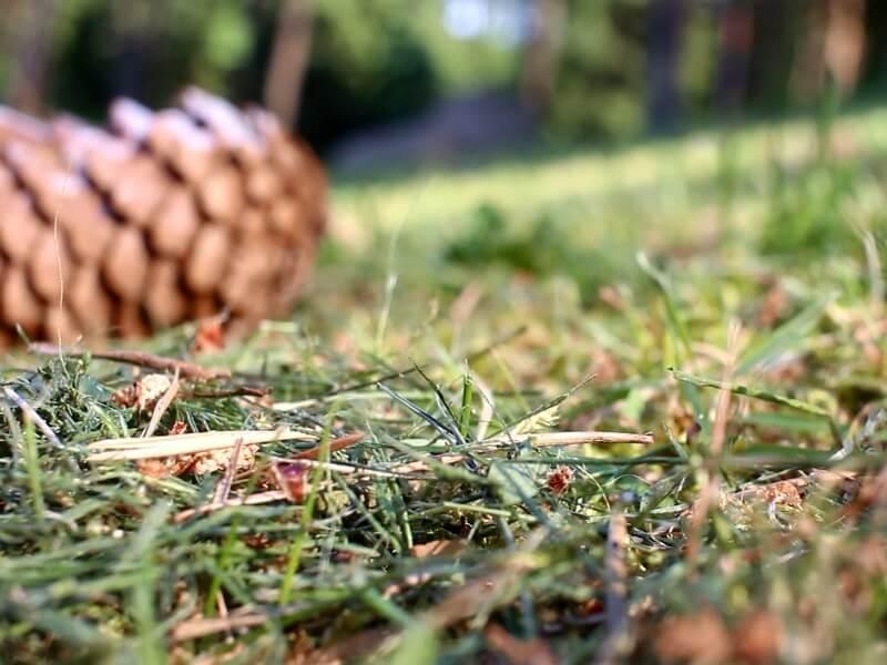 Samanos dažnai įsimaišo į paunksmėje augančią veją. Nuotr. aut. L. Liubertaitė.