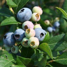 Šilauogių auginimas: ką daryti, kad jūsiškės būtų skaniausios pasaulyje