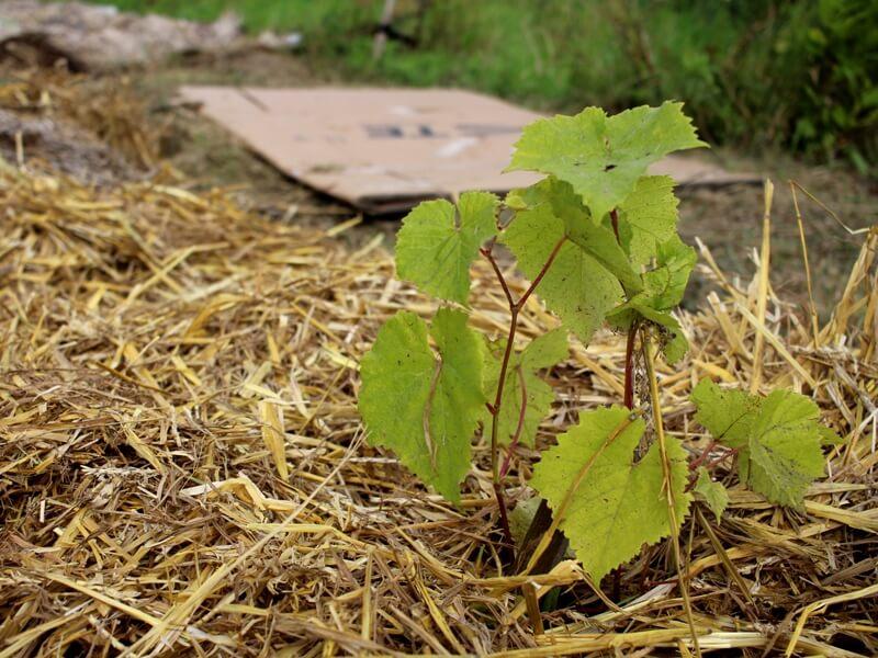 Kartonas ir šiaudai - nebrangus būdas pagerinti dirvožemio kokybę ir apsisaugoti nuo nereikalingų žolių. Nuotr. aut. L. Liubertaitė.